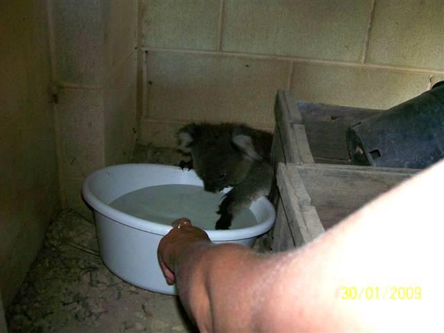 Koala Image158