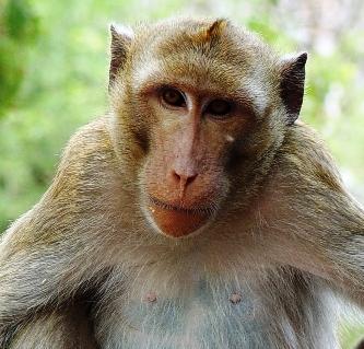 Monyet juga mempunyai fesyen rambut? 2012-012