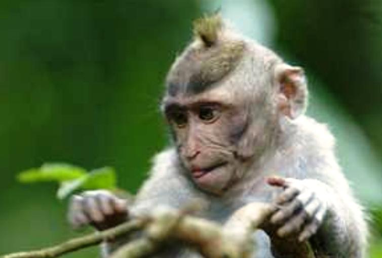 Monyet juga mempunyai fesyen rambut? 2012-013