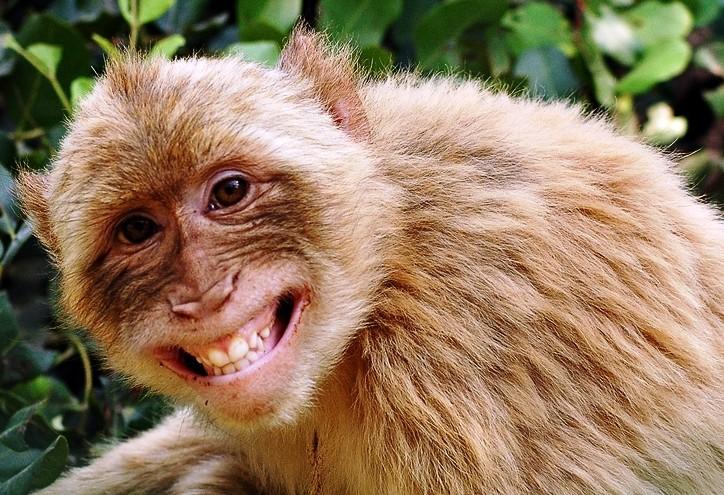 Monyet juga mempunyai fesyen rambut? 2012-014