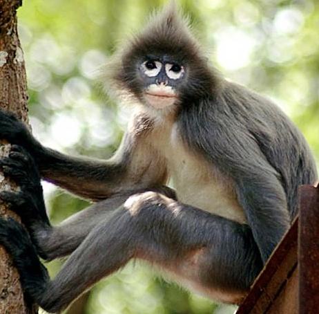 Monyet juga mempunyai fesyen rambut? 2012-015