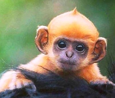 Monyet juga mempunyai fesyen rambut? 2012-016