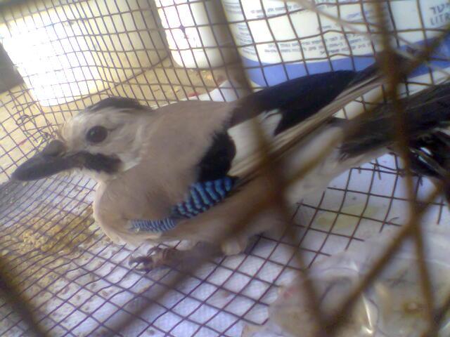 طائر  الجرخ 15891626