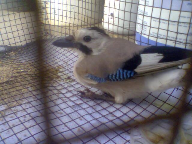 طائر  الجرخ 15891627