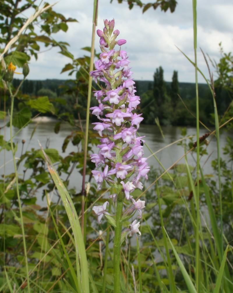 Gymnadenia odoratissima ( Orchis odorant ) Odoran10