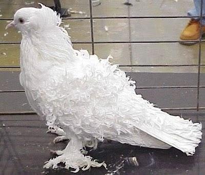 سلسلة البومات صور الحمام الجزء الأول : سلالة Frill Back Pigeon Frillb10