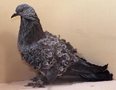 سلسلة البومات صور الحمام الجزء الأول : سلالة Frill Back Pigeon Frillb11