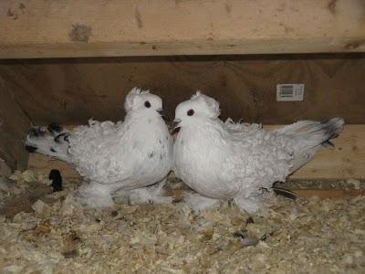 سلسلة البومات صور الحمام الجزء الأول : سلالة Frill Back Pigeon Frillb15