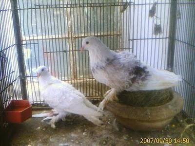سلسلة البومات صور الحمام الجزء الأول : سلالة Frill Back Pigeon Frillb20