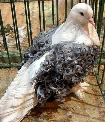 سلسلة البومات صور الحمام الجزء الأول : سلالة Frill Back Pigeon Frillb23