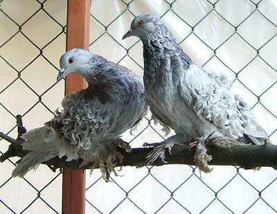سلسلة البومات صور الحمام الجزء الأول : سلالة Frill Back Pigeon Frillb24