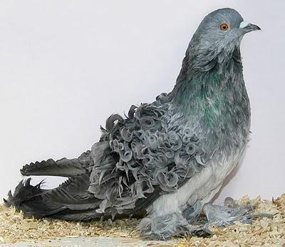 سلسلة البومات صور الحمام الجزء الأول : سلالة Frill Back Pigeon Frillb25