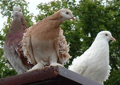 سلسلة البومات صور الحمام الجزء الأول : سلالة Frill Back Pigeon Frillb26
