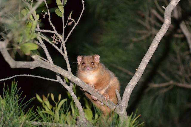 Australie 2012 - Page 3 Possum10