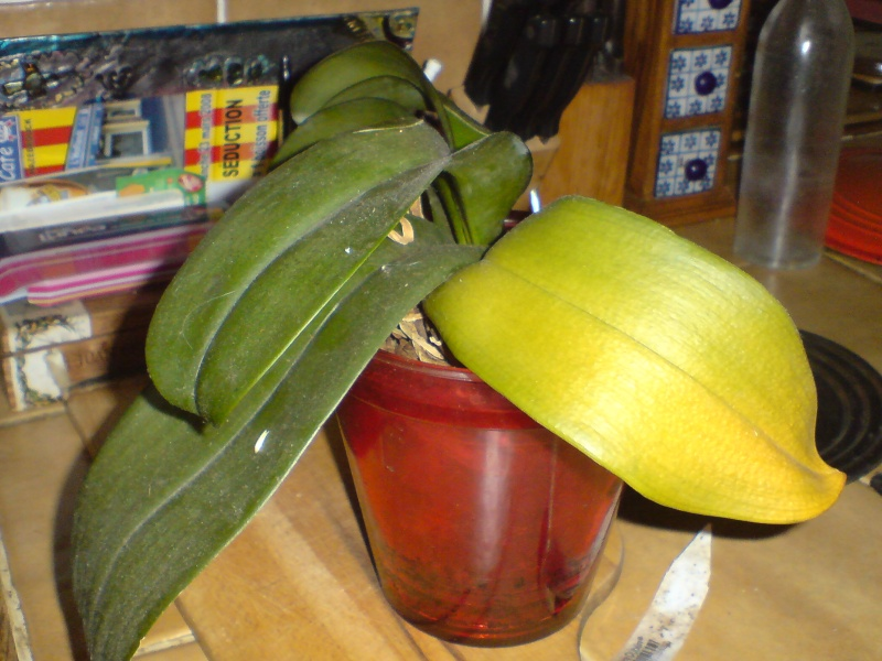Besoin de conseils sur des orchidées Dsc02617