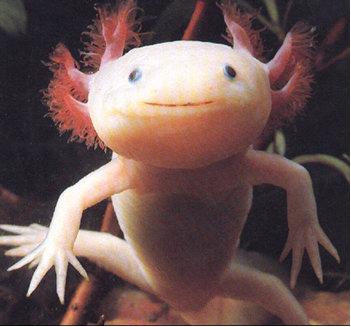 Curiosités et beautés du monde  1 Axolot10