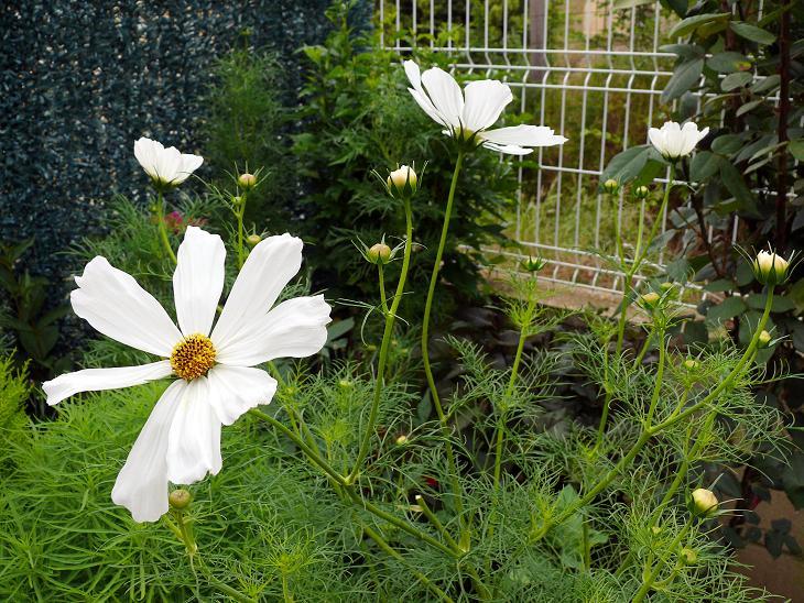 Julio en flor Cosmos11