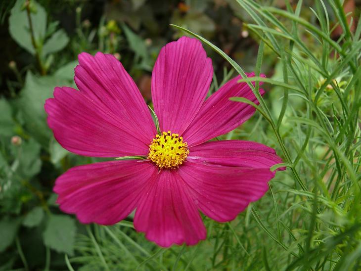 Julio en flor Cosmos12