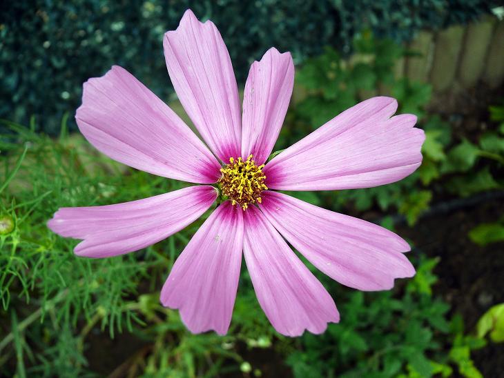 Julio en flor Cosmos13