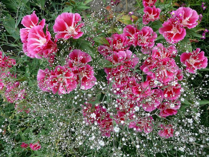 Julio en flor Gypsop10