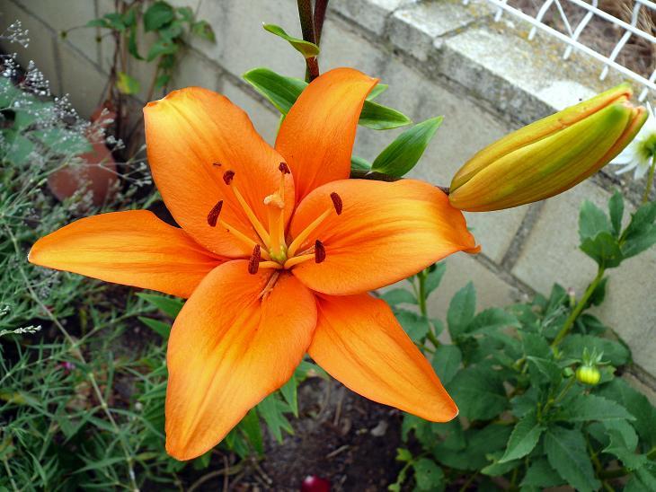 Julio en flor Iris10