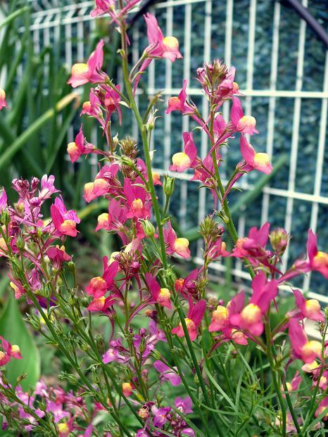 Julio en flor Linari10