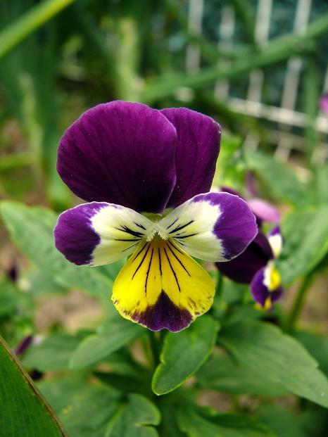 Julio en flor Pensam10