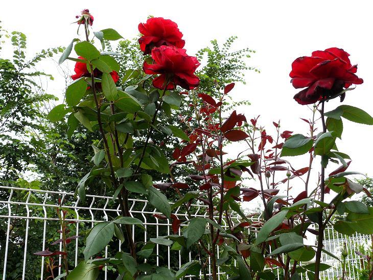 Julio en flor Rosal10