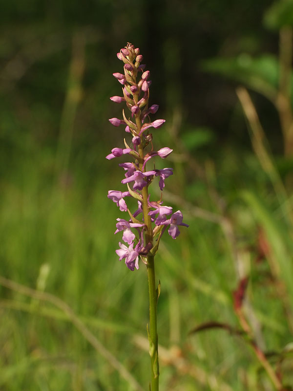 Gymnadenia pyrenaica ( Orchis des Pyrénées ) Gymnad15