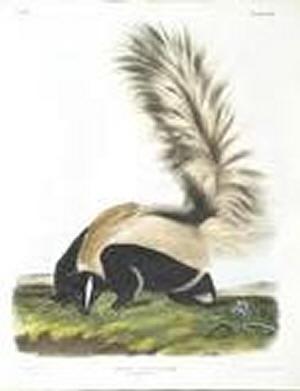 Skunk Animal Totem Skunk10