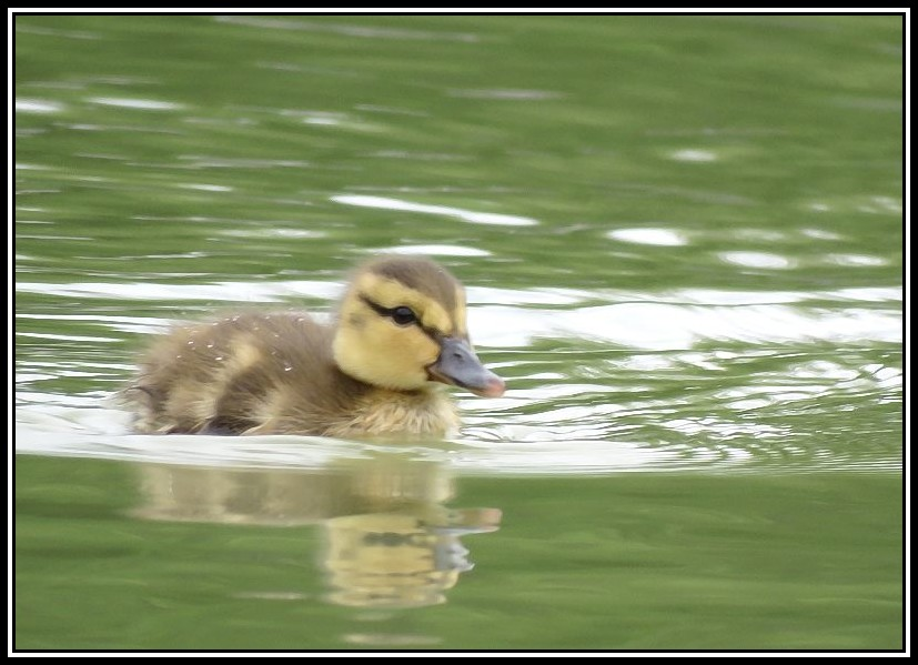 Canetons Colvert 01-06-12