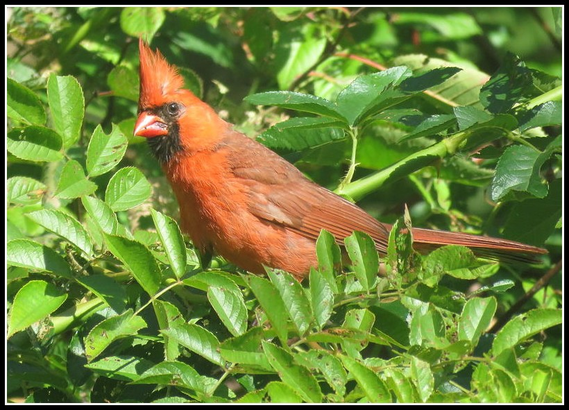 Cardinal rouge 03-09-11