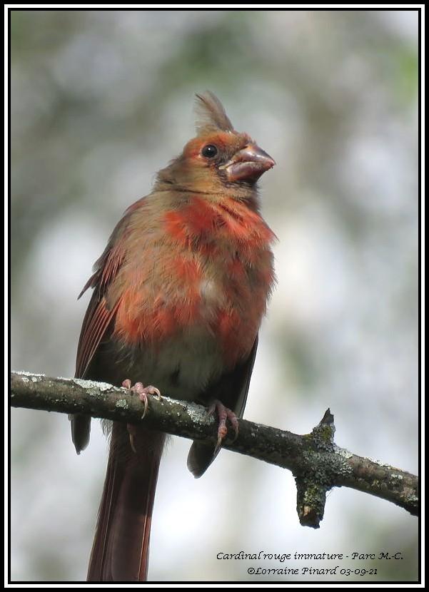 Cardinal rouge immature 03-09-15