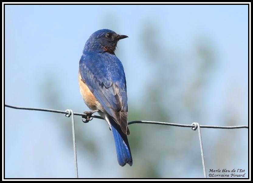 Merle bleu de l'Est: petite série 04-06-25