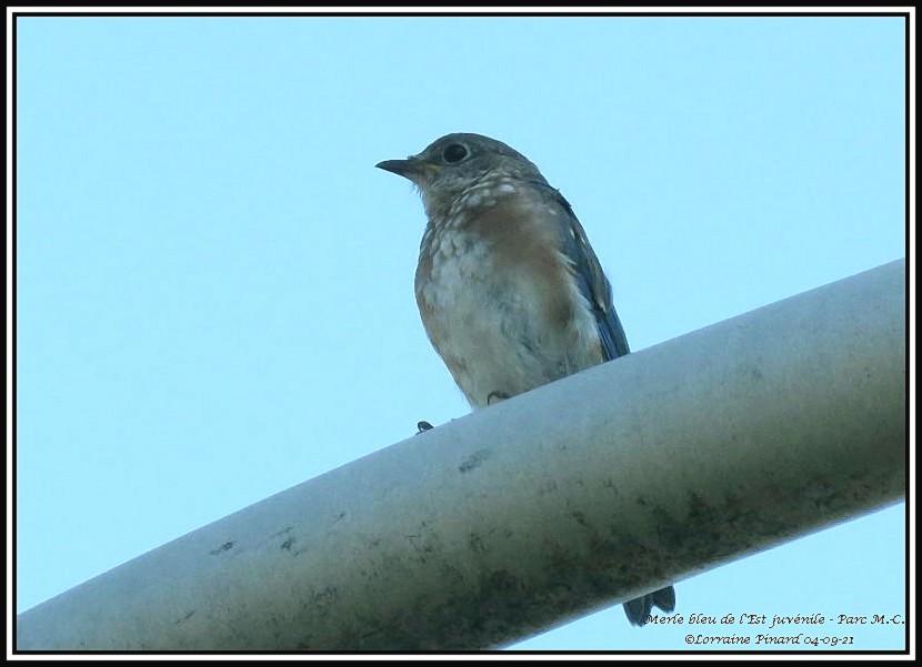 Merle bleu de l'Est juvénile 04-09-11