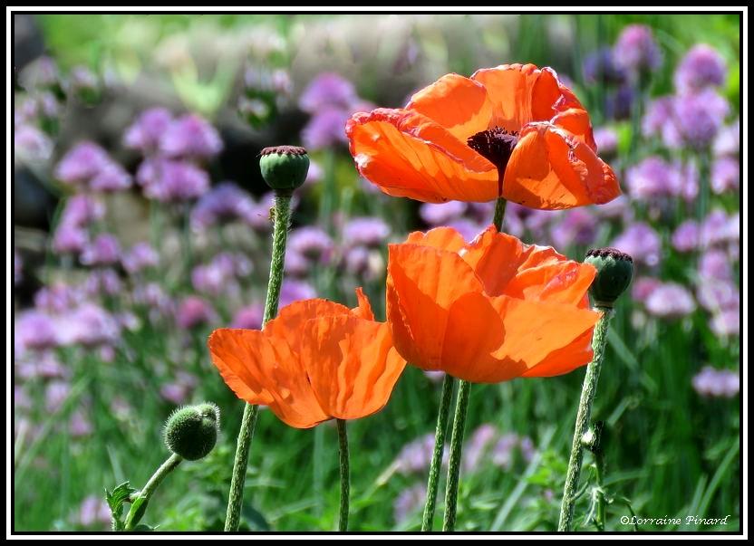 Fleurs sublimes au potager 06--0611