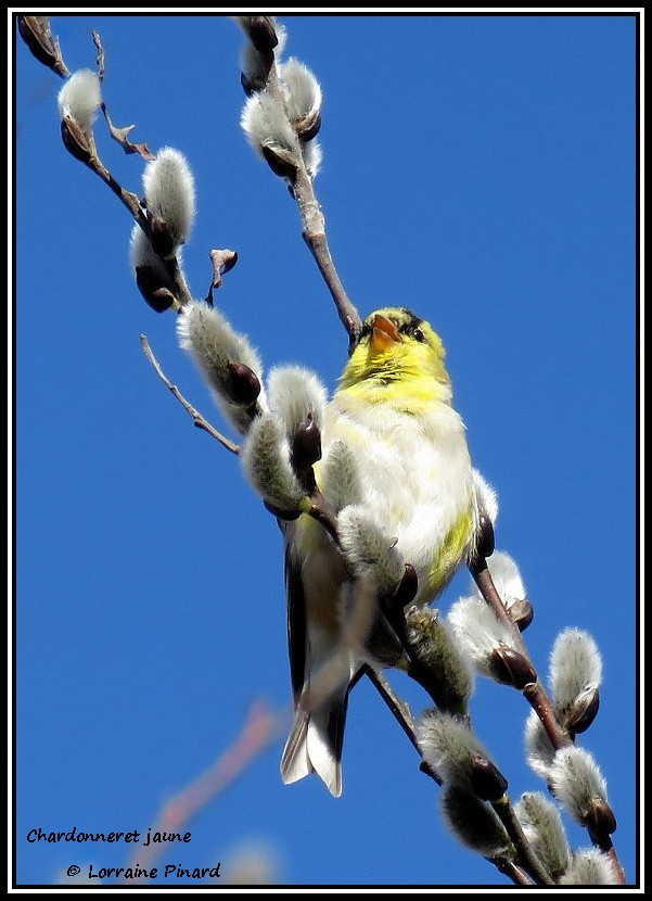 Chardonneret jaune 06-04-11