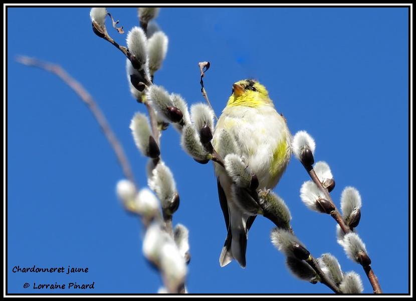 Chardonneret jaune 06-04-13