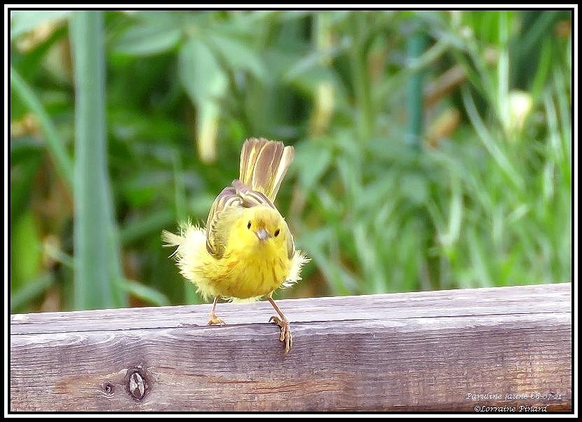 Paruline jaune 06-07-10