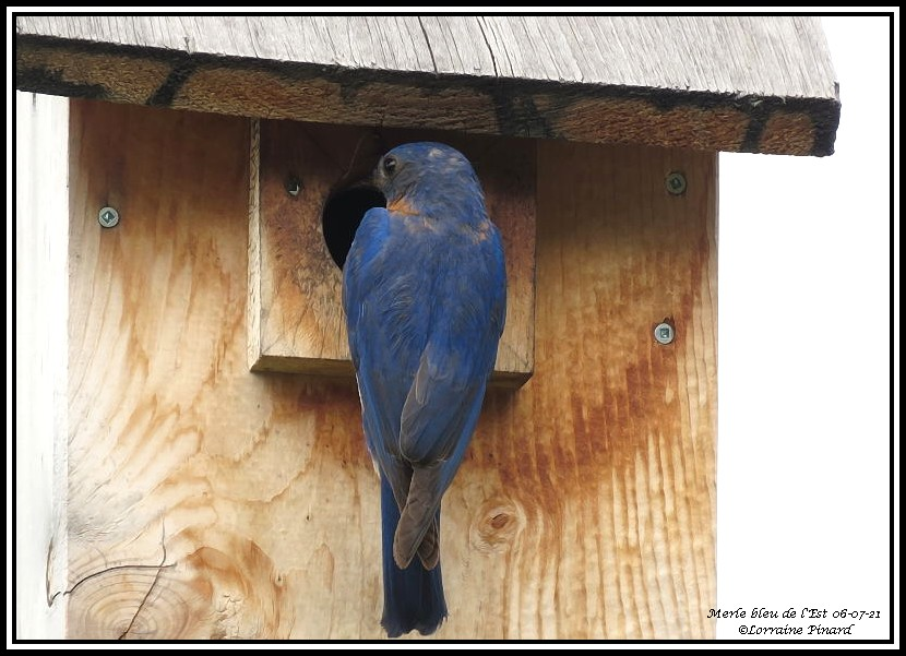 Merle bleu de l'Est 06-07-16