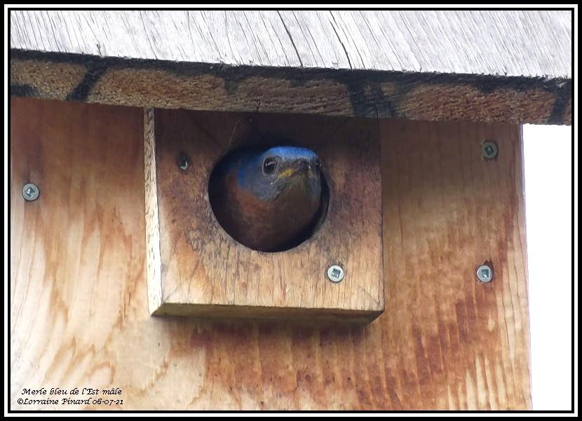 Merle bleu de l'Est 06-07-21