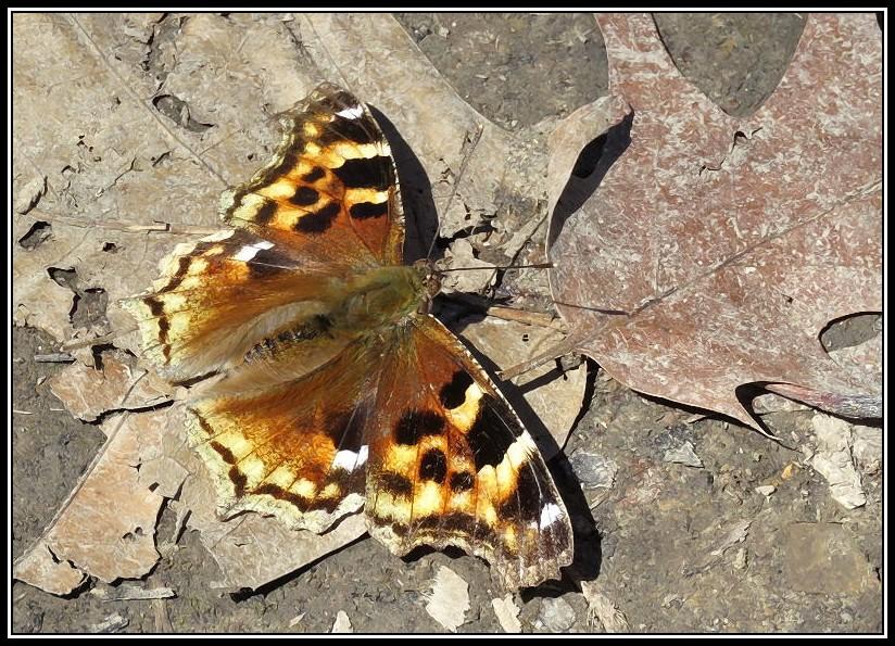 Papillon 07-04-11