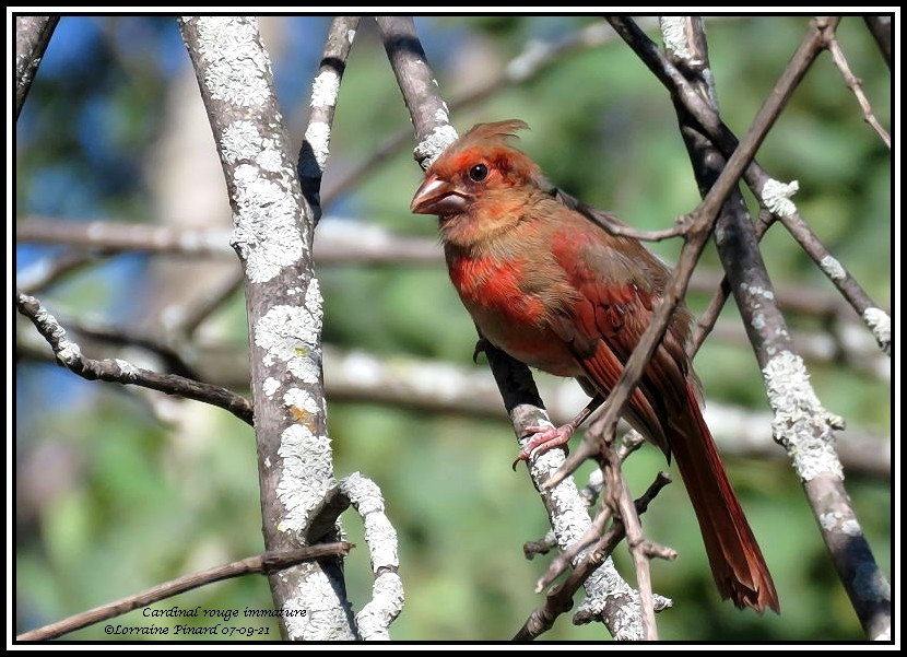Cardinal rouge immature 07-09-12