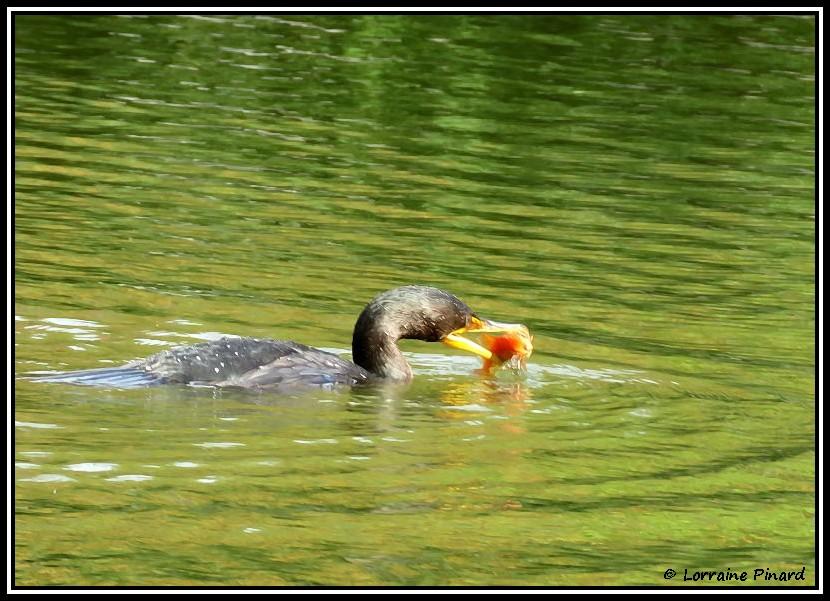 Cormoran et sa pêche 09-10-10