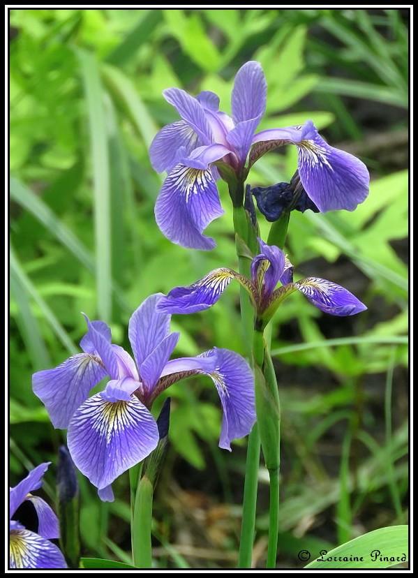 Iris versicolore 10-06-10