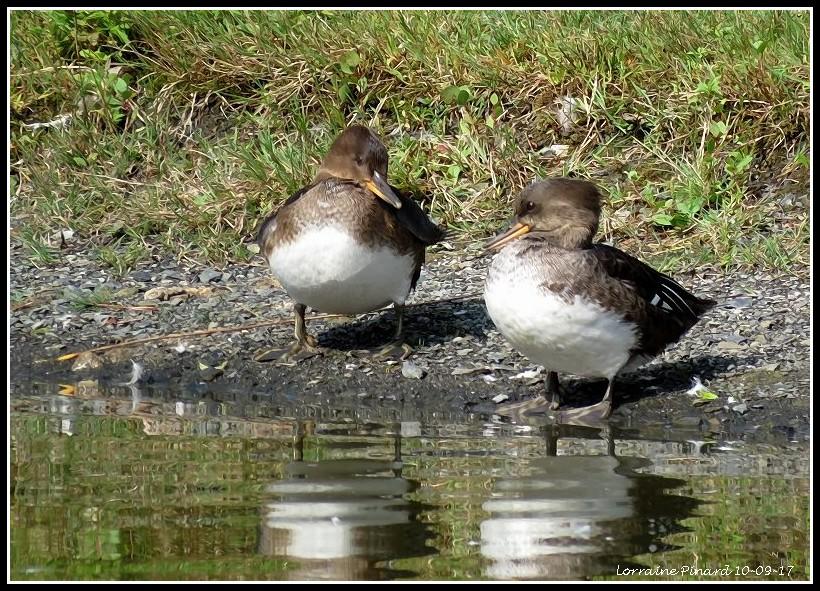 Limicoles et Canards à identifier 10-09-13