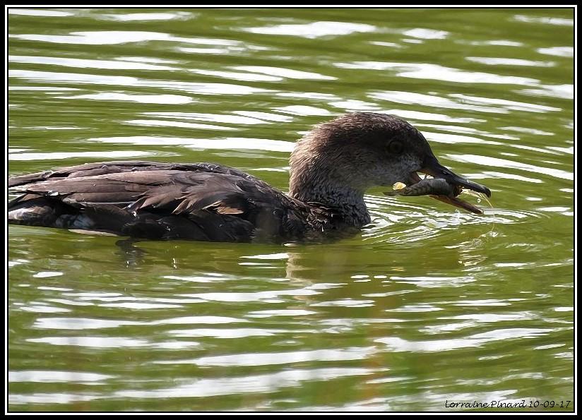 Limicoles et Canards à identifier 10-09-14