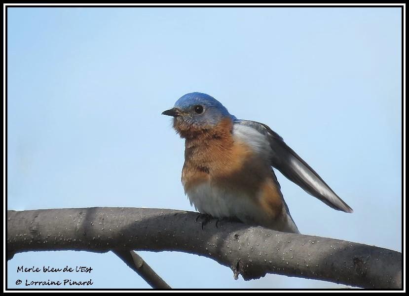 Merle bleu de l'Est 14-04-14