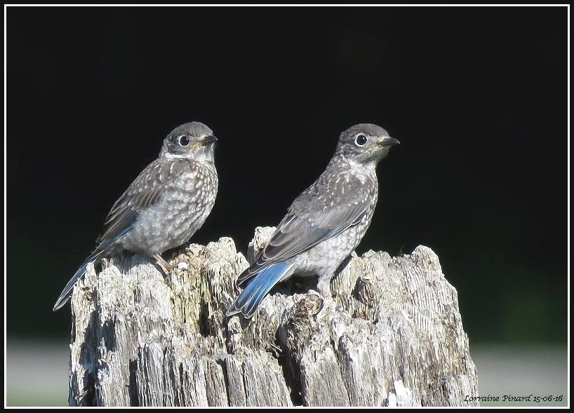 Merles bleus de l'Est, juvéniles 15-06-17