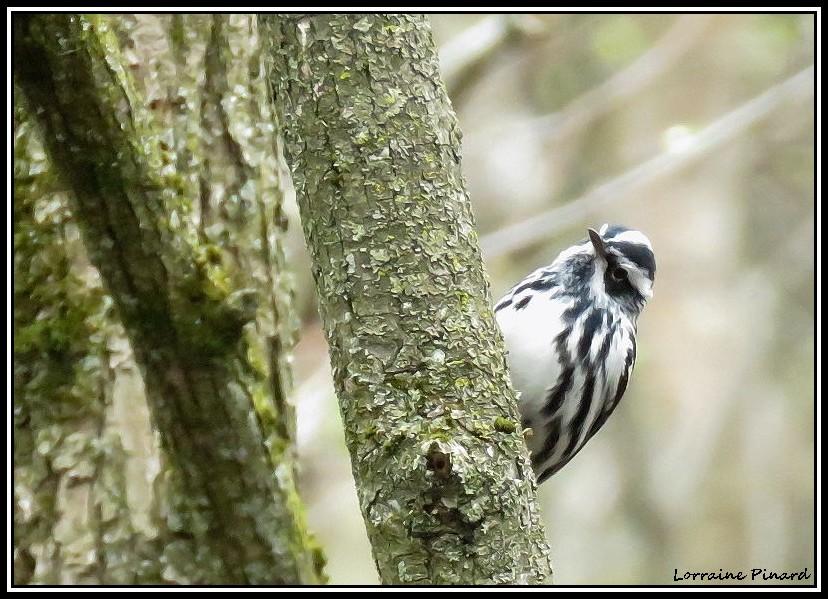 Paruline noir et blanc 16-05-13